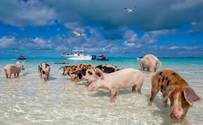 Swim with the pigs in Freeport, Bahamas