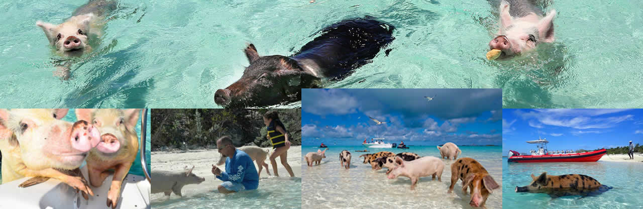 Swim with the Pigs in Freeport, Bahamas only $65